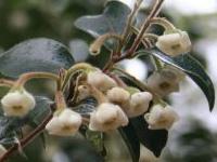 bladdernut_flowers_detail